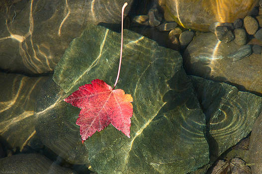 Mick Anderson - Maple Leaf on Water