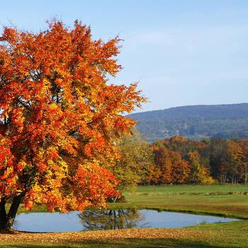 Maple Tree by David Simons