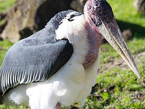 Wingsdomain Art and Photography - Marabou Stork 7D8886