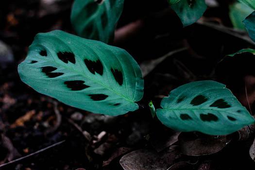 Maranta Leuconeura by Donald Chen