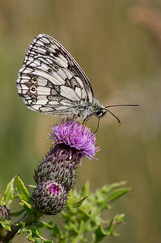 Marbled White by Pete Hemington