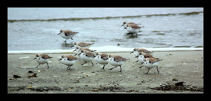 Rosanne Jordan - March of the Sanderlings