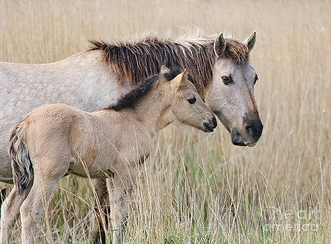 Mare and foal konik horse by Fun Cards