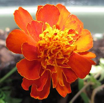 Marigold 1 by Barbara Yearty