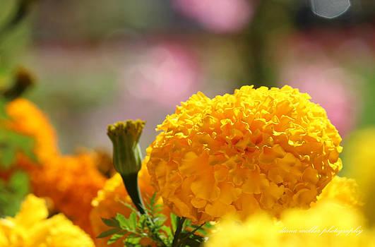 Marigold Audience by Diana Walker