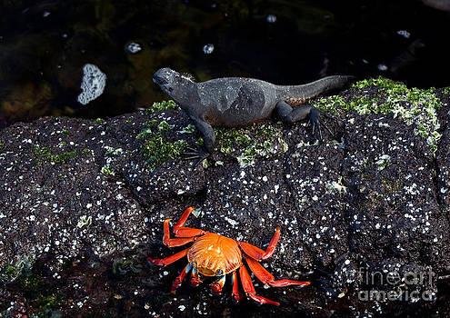 Michael Lustbader - Marine Iguana and Sally Lightfoot Crab