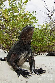 David Fleetham - Marine Iguana