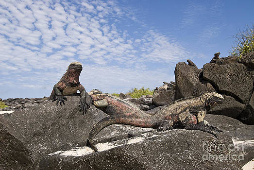 William H. Mullins - Marine Iguanas