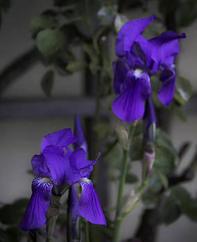 Teresa Mucha - Marksburg Iris
