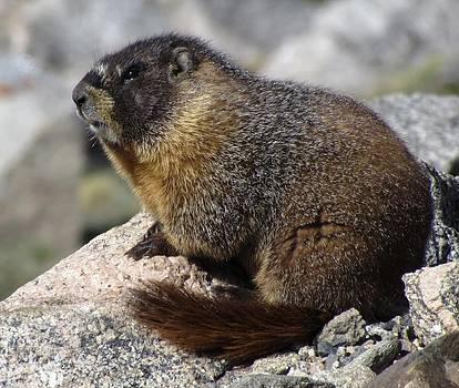 Marmot by Patricia Feind