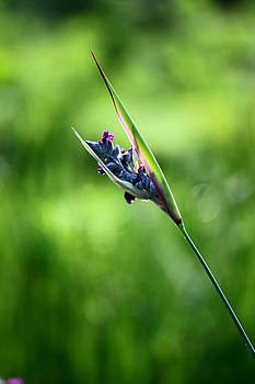 Carolyn Stagger Cokley - Marsh Flower