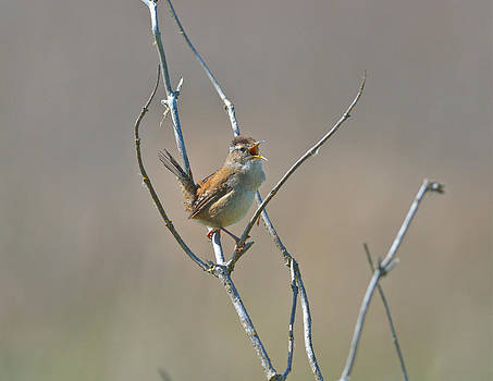 Marsh Wren by Kathy King