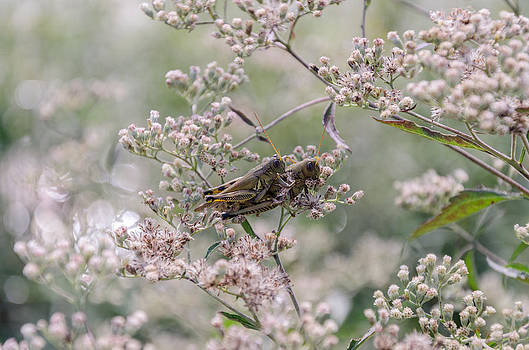 Mating Grasshoppers by Diana Boyd