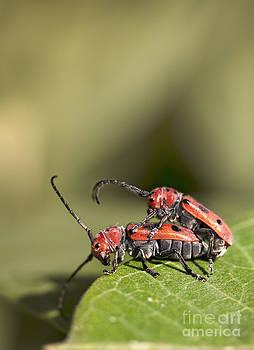 Mating Pair of Red Milkweed Beetles by Brandon Alms