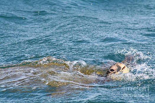 Maui Turtle by Susan Meade