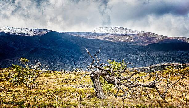 Mauna Kea Tree by Kirk Shorte