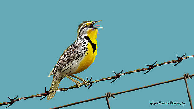 Meadow Lark Singing by Laird Roberts