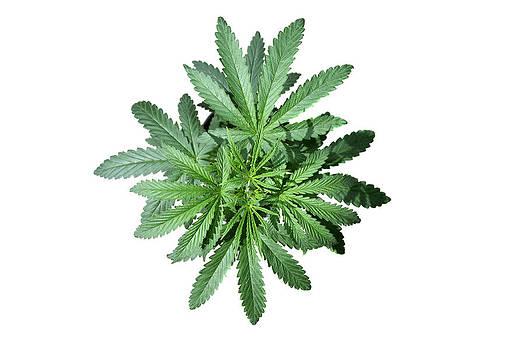 Michael Ledray - Medical Marajuana Plant isolated on white