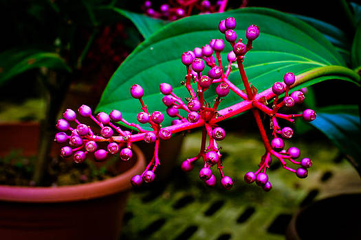 Medinilla Singapore Flower by Donald Chen