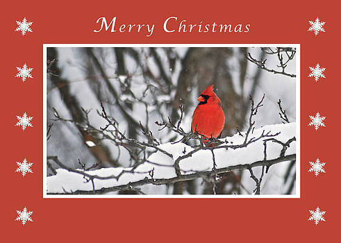 Michael Peychich - Merry Christmas Male Cardinal