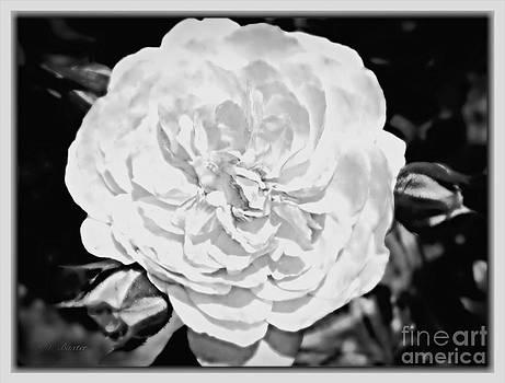 Classic White English Rose by Kimberlee Baxter
