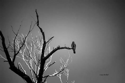Donna Blackhall - Midnight Falcon