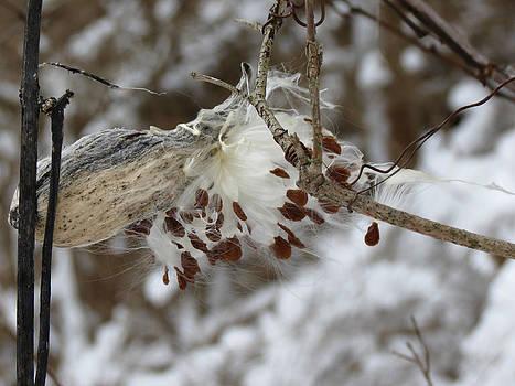 Milkweed by Azthet Photography