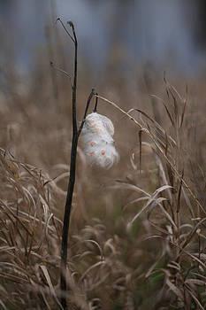 Milkweed by Brady D Hebert