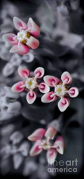 Milkweed Snowflakes by Henry Kowalski