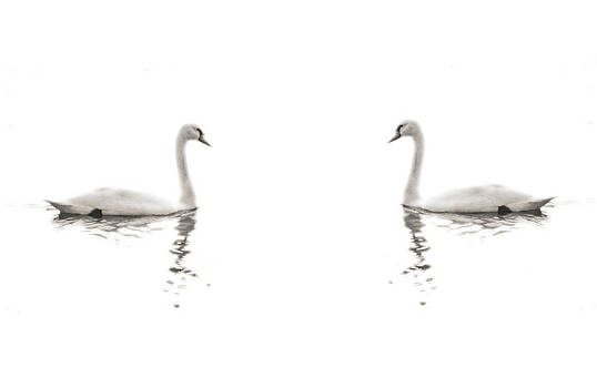 Minimalist Swans in Black and White by Brooke Ryan