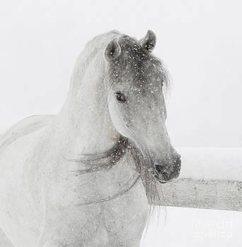 Mischievous Snowy Mare by Carol Walker