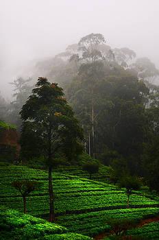 Jenny Rainbow - Misty Tea Plantations in Nuwara Eliya