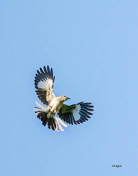 Allen Sheffield - Mockingbird Overhead