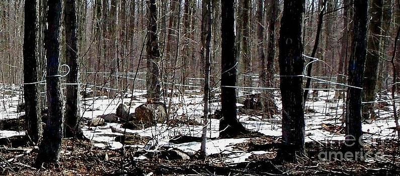 Gail Matthews - Modern Maple Tree Sap Tapping