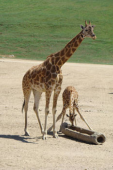 Mom and Baby Giraffe by A D Jodrell