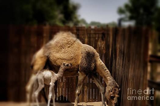 Momma And Baby Camel by Jeremy Linot