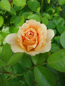 Mom's Rose by Leslie Manley