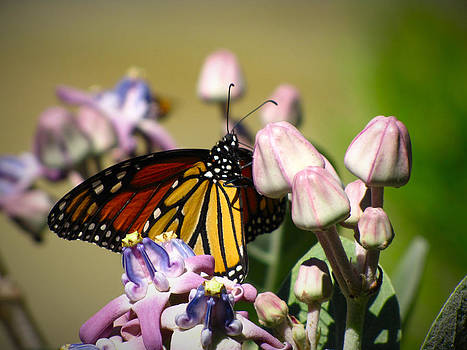 Monarch and Milkweed by Phil Penne