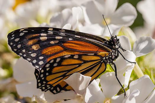 Adam Romanowicz - Monarch Butterfly