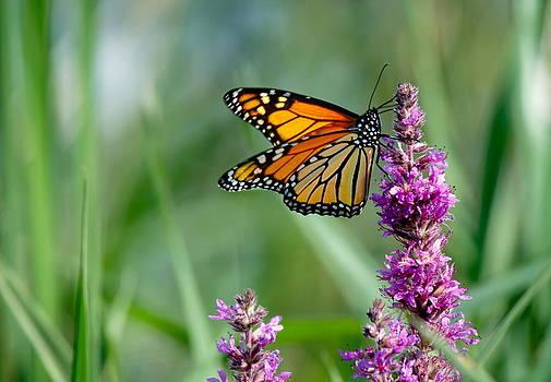 Andrea Kollo - Monarch Butterfly