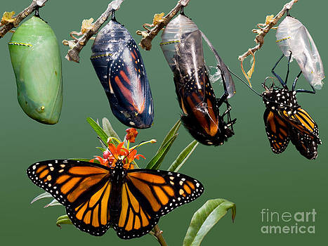 Anthony Mercieca - Monarch Butterfly Growth Sequence