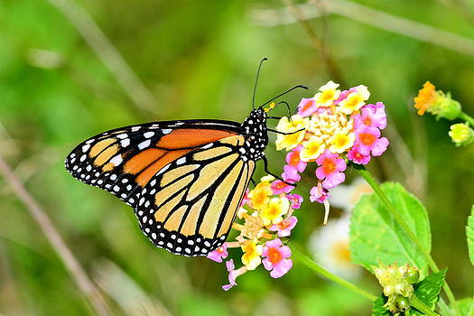 Monarch Butterfly on Lantana by Don Bangert