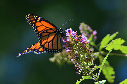 Monarch Butterfly by Xcape Photography