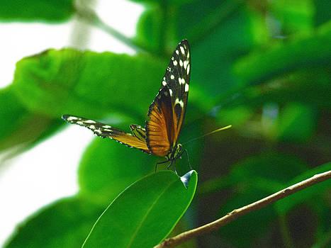 Debi Ling - monarch