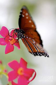 Monarch III by Pamela Gail Torres