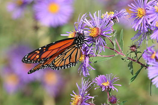 Monarch On Asters by Patricia Davis