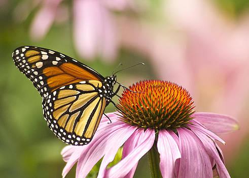 Michael Peychich - Monarch on Cone Flower