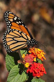 Rosanne Jordan - Monarch Reigns in the Garden