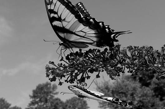 Swallotail in Black and White by Kim Galluzzo Wozniak