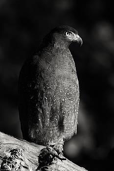 Monotones of an eagle by Swapnil Deshpande